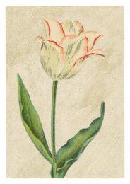 Tulip Picotée