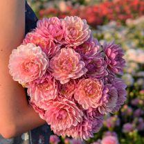 Dahlia Pink Magic