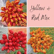 Red-Yellow Mix